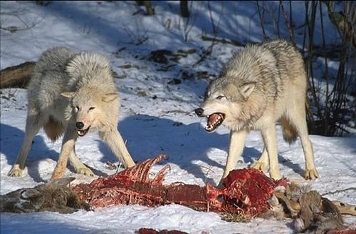 500px-Wolves_Kill